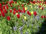 Rote und Gelbe Tulpen auf Rügen